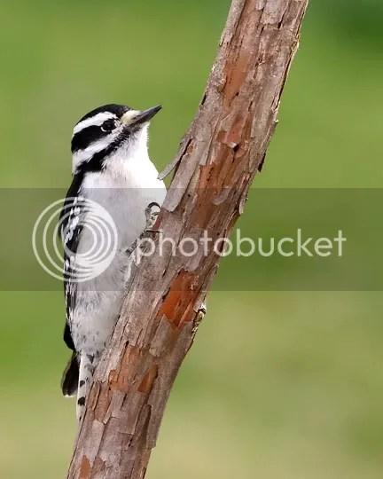 Woodpecker, Downy photo ponstick.jpg