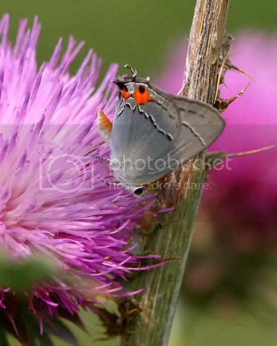 Gray Hairstreak photo GrayHS.jpg