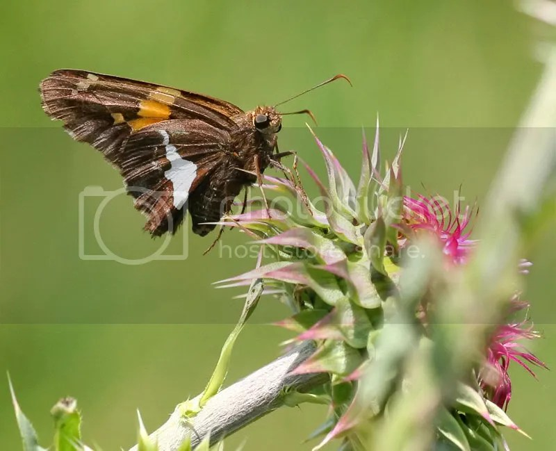 Silver-spotted Skipper photo ICFKB2.jpg