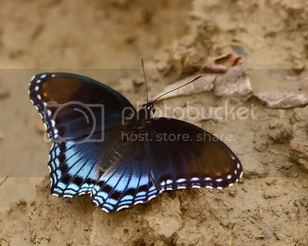 Red Spotted Purple photo RSPa.jpg