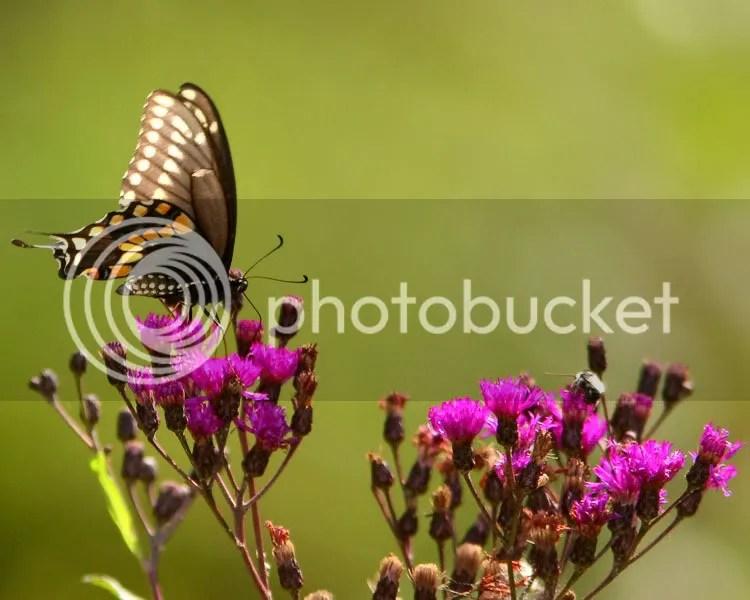 Spicebush Swallowtail photo ss1.jpg