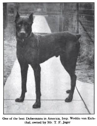 1916 Doberman photo 1916_DobermanPinscher2.jpg