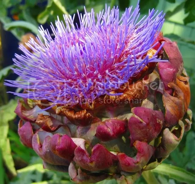 And one of our blooming artichokes that Pauls friend was amazed by.