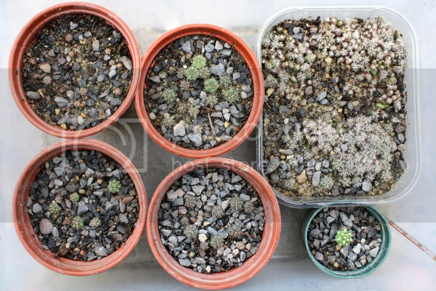 Gymnocalycium seedlings