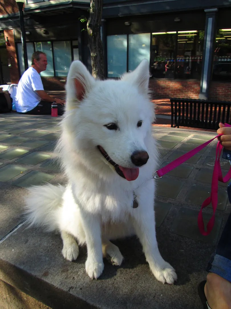 samoyed fluffy dog