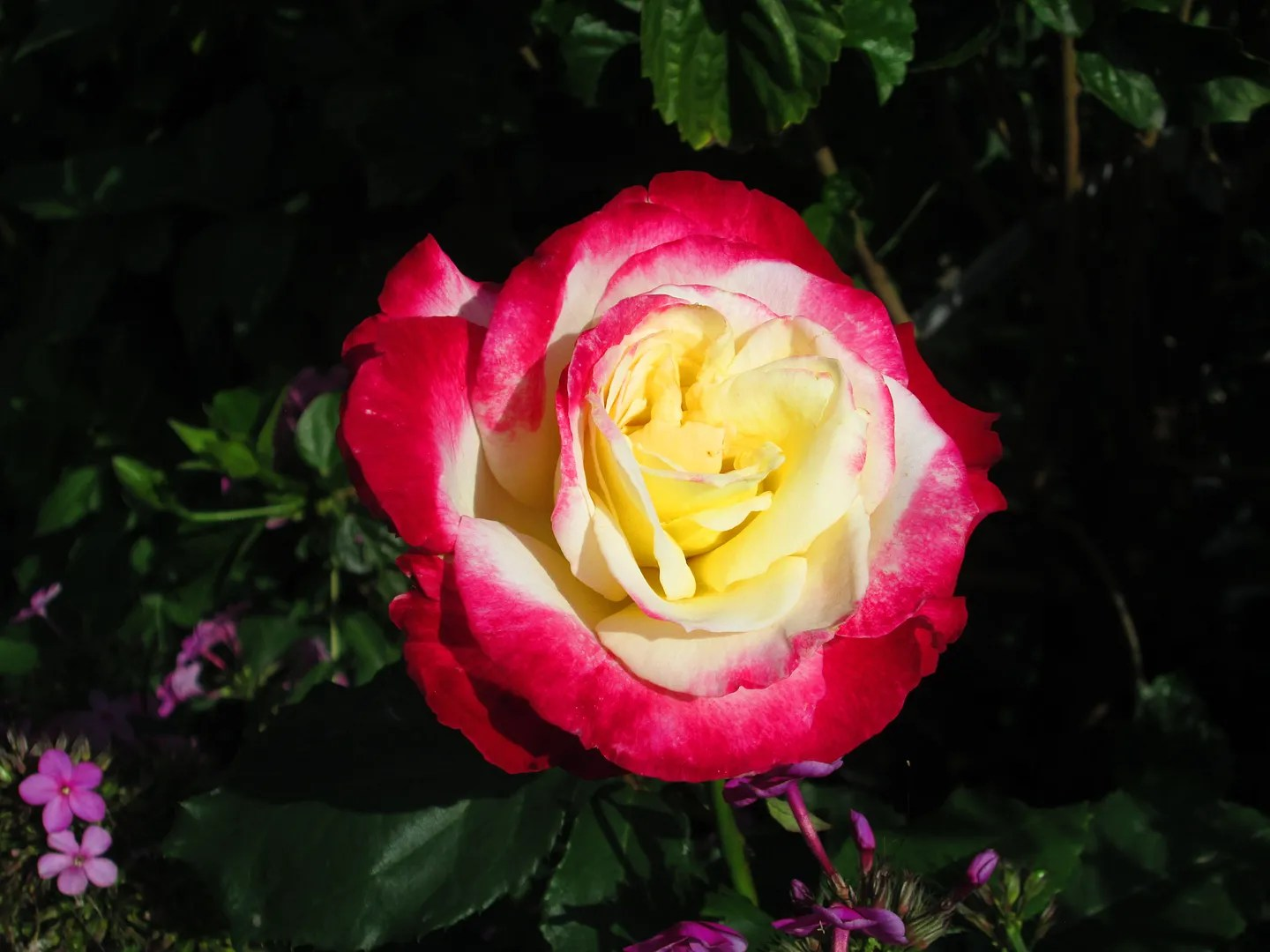 hot pink and yellow rose