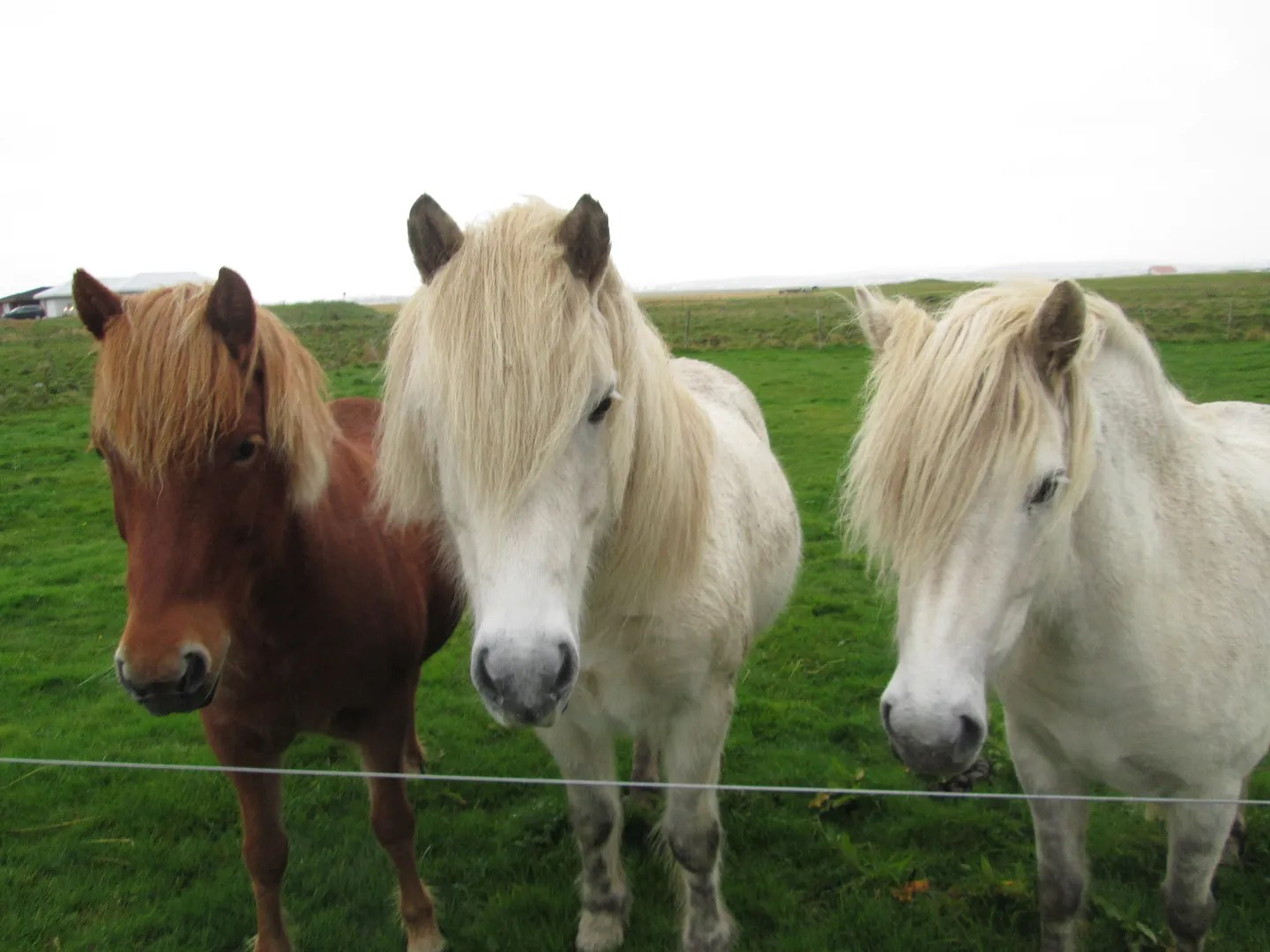 three icelandic horses, one brown and two white