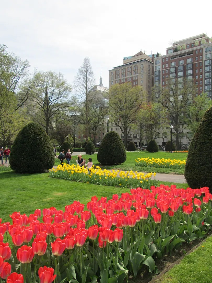 red and yellow tulips in the boston public garden