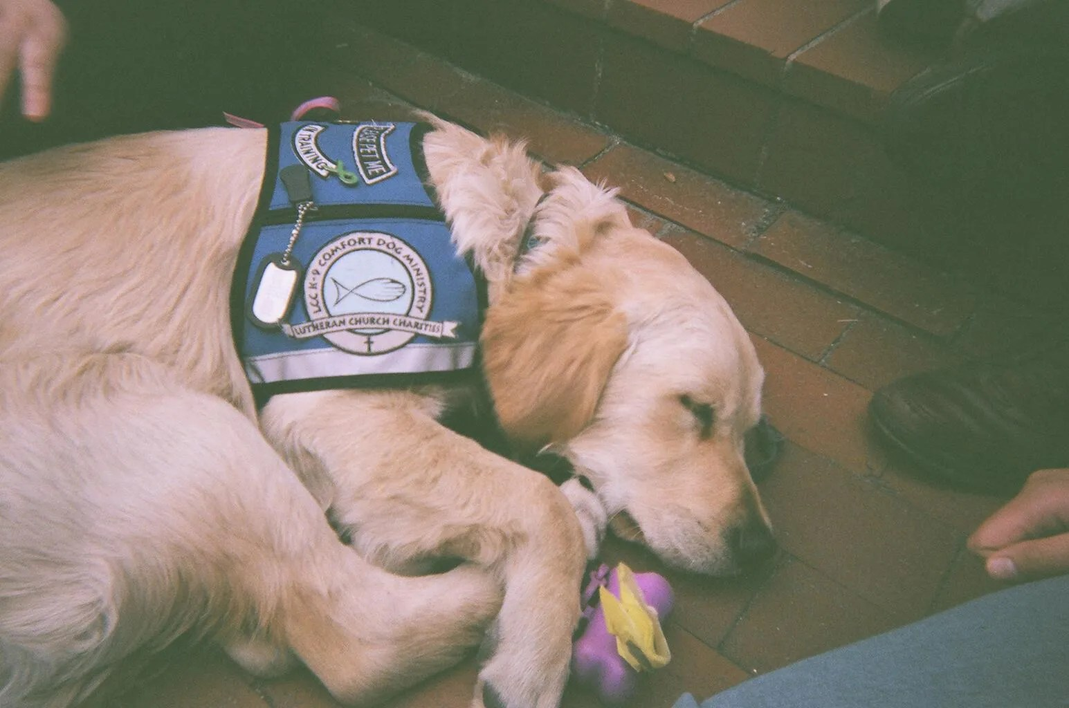 golden retriever Comfort Dog puppy curled up in a ball