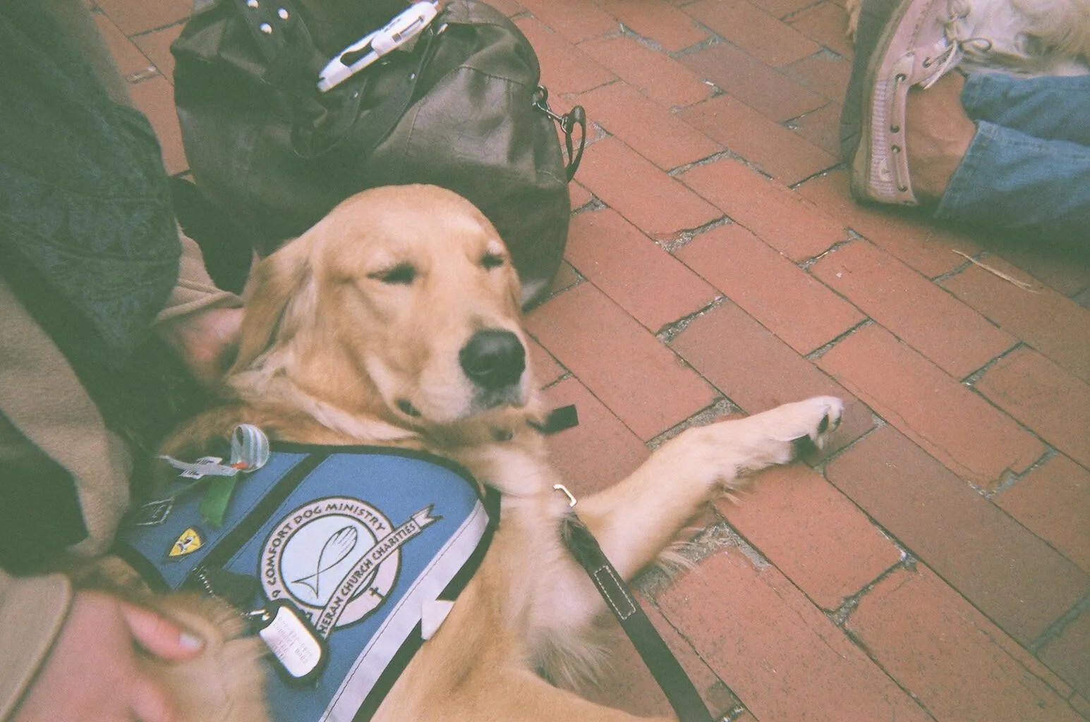 golden retriever Comfort Dog being petted by people