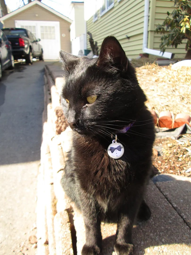 black cat with green eyes and bowtie tag