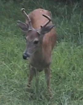 photo deer.jpg