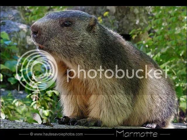 """//img.photobucket.com/albums/v698/Krasnaya/marmotte.jpg"""" porque contiene errores."""
