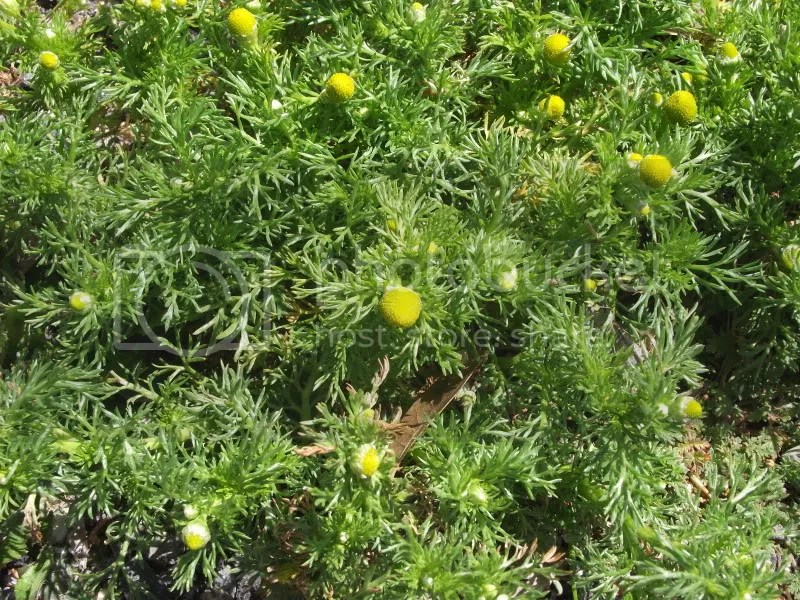 Pineapple weed photo DSCF9141.jpg