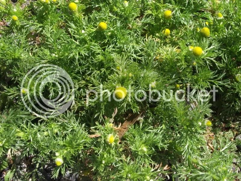 Pineapple weed photo DSCF9141.jpg
