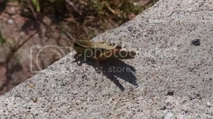 One-legged Grasshopper