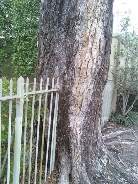 Fence-Eating Tree