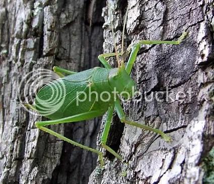 northern true katydid on black walnut