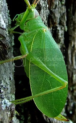 northern true katydid on black walnut