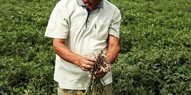深度旅遊|【雲林元長。風土好生活】下田體驗健康無毒栽種的花生趣~