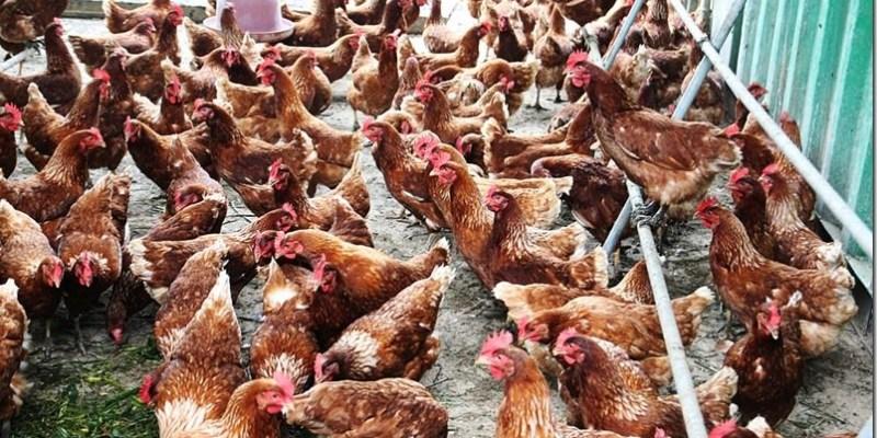 美食推薦|【福壽生態農場】牧草雞105天安心養成 福壽油品認證好安心