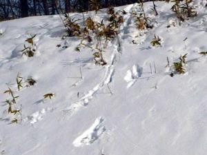 エゾシカの足跡