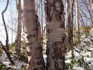 ガンビ 白樺の樹皮