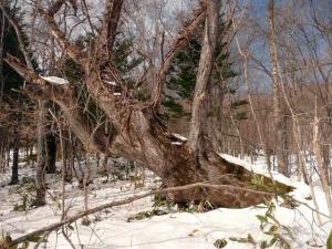 ハルニレの古木