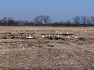 牧草地に白鳥の群れが