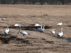 えさをついばむ白鳥の群れ