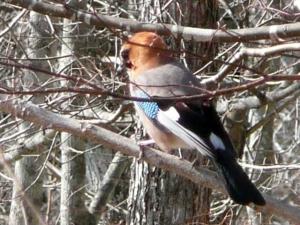 羽の色がきれいなカケス