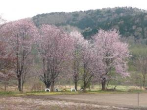 廃校跡に咲くエゾヤマザクラ