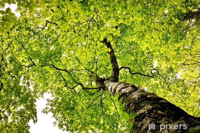 Znalezione obrazy dla zapytania drzewo buk zdjecia