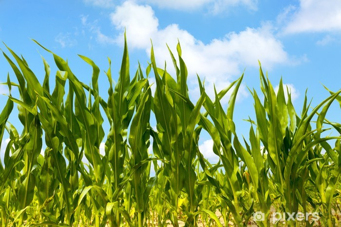 Corn Plants In An Agricultural Field Wall Mural • Pixers