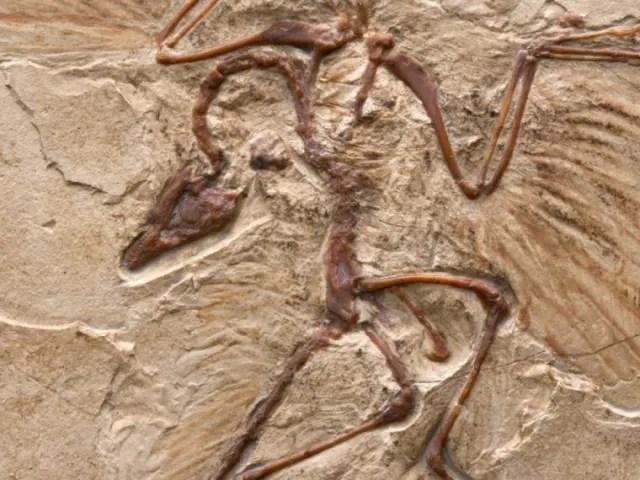 Archaeopteryx, vivió en el periodo Jurásico Superior hace unos 150 millones de años, en lo que hoy es el sur de Alemania. Representa el eslabón dinosaurio-ave.-