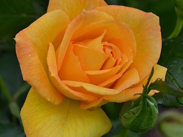 Розы Сахара (Sahara) - описание сорта, саженцы, фото и ...