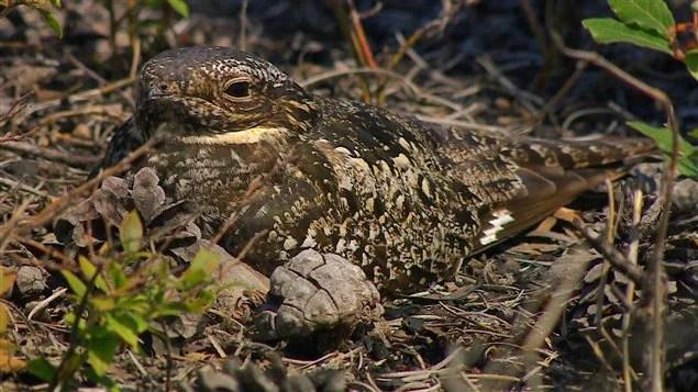 L'engoulevent est un oiseau de nuit qui vit dans les forêts brûlées et qui arrive facilement à s'y camoufler.