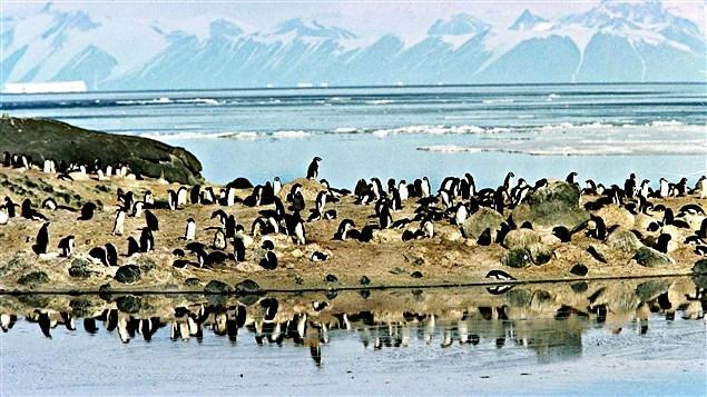 Des pingouins sur une paroi rocheuse face à la mer de Ross, en Antarctique