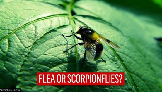 A new study reveals the position of fleas on the tree of life;  here is everything you need to know