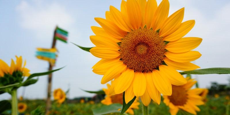 彰化》花壇向日葵花海  一片金黃色閃耀|三春老樹彩繪稻田