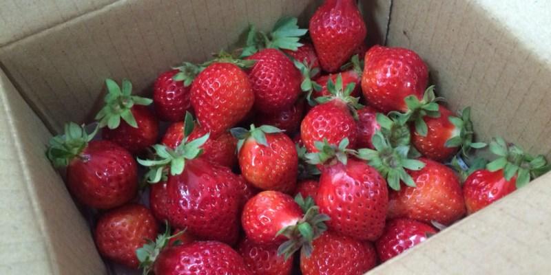 【遊記*苗栗】2015 帆禾草莓園 終於採過大湖草莓啦!!~