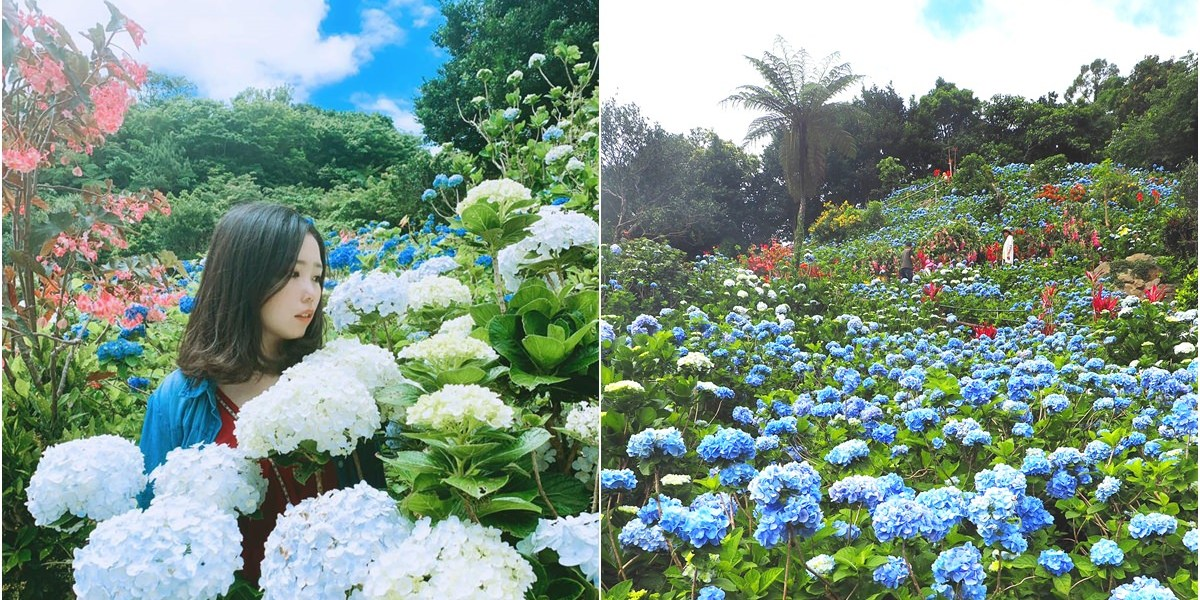 沖繩景點   超美超值得去的隱藏景點!Yohena 饒平名繡球花公園  開花時間、門票費用、導航資訊