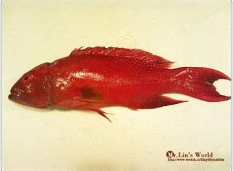 (魚)便宜好吃的溫豆和結婚宴席用的燕尾條