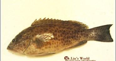 (魚)煎起來竟然不會硬的白尾班