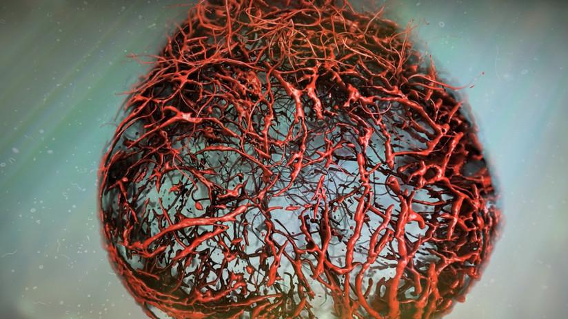 Cultivan por primera vez vasos sanguíneos humanos y los implantan en organismos vivos