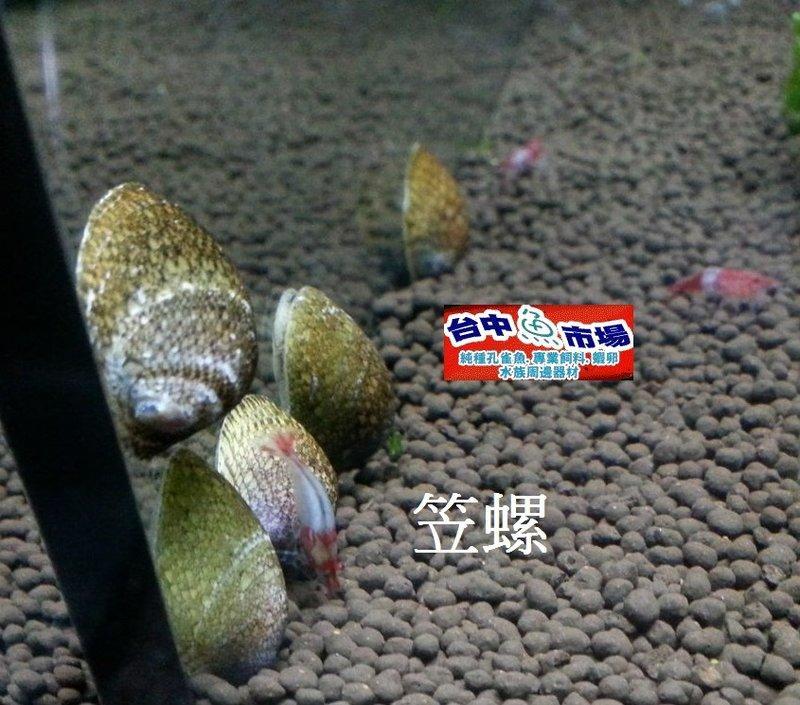 臺中阿塔水族~笠螺~最強的除藻螺~草缸必備~特價1顆只要10元 | 露天拍賣
