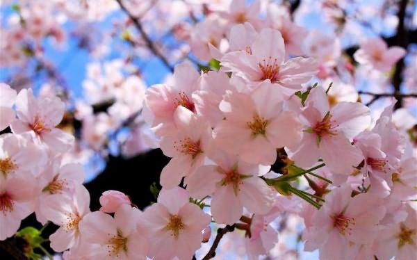Цветет Вишня Фото