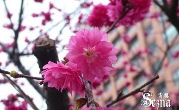 或許愛情也該像櫻花選擇一天燦爛