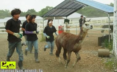 [栃木]你也想被療癒嗎?那須羊駝牧場之草泥馬寫真組合