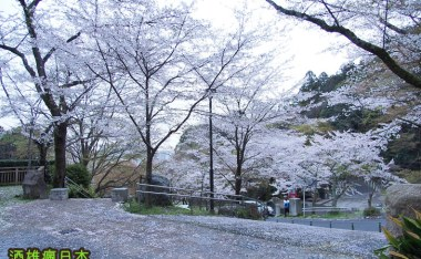 [滋賀賞櫻]大津長等公園-櫻花地毯的浪漫